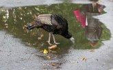 Wild Turkey Battery Park NY